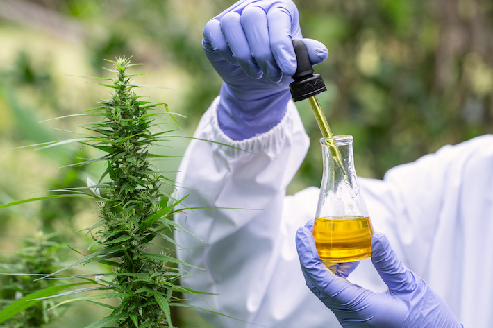 Cannabis scientist doing research and experiment